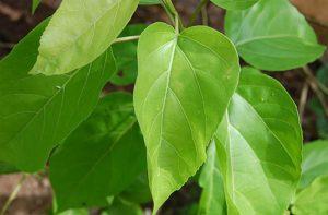 cách chữa bệnh trĩ bằng lá vông nem