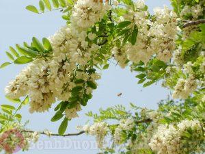 Hoa hòe - Vị thuốc chữa bệnh trĩ khi mang thai và sau sinh