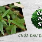 cách chữa bênhj đau dạ dày bằng lá cỏ mực