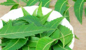 cách chữa bệnh trĩ bằng lá vông neem