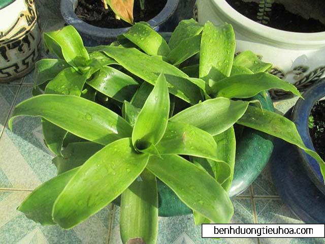 Cây lược vàng - Thần dược chữa bệnh đau dạ dày